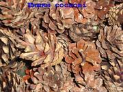 Сосновые шишки для поделок